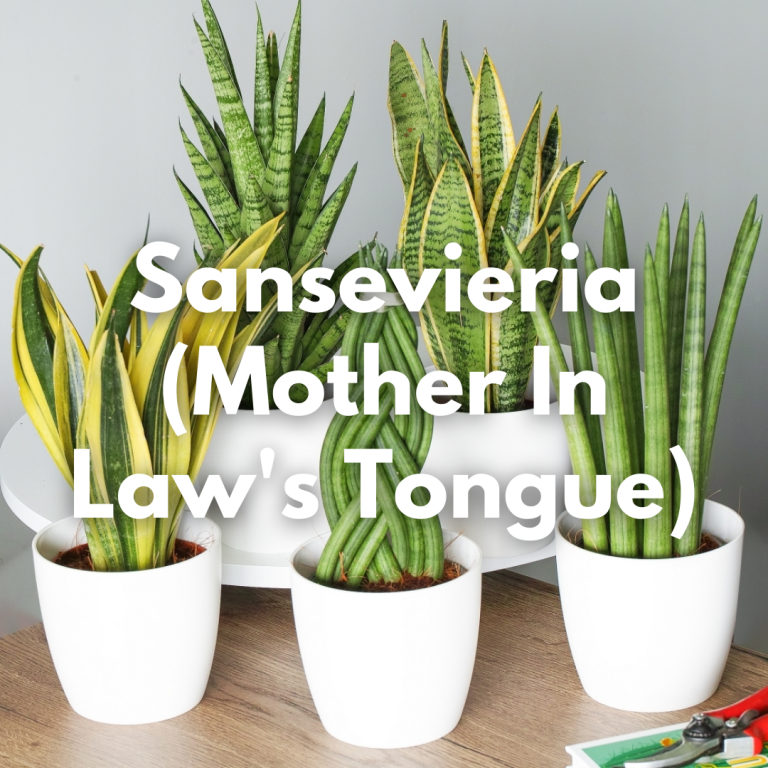 Sansevieria Mother In Law's Tongue
